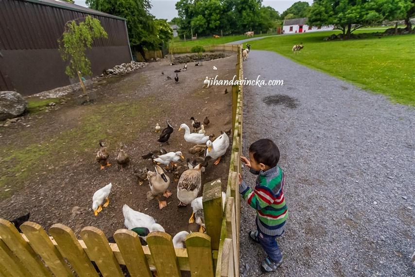Glendeer Pet Farm Ireland, the ducks, pic : Dani Rosyadi