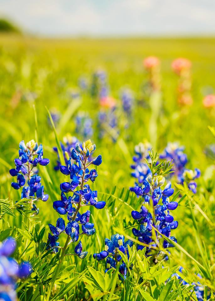 Bunga Indah bluebonnet yang tumbuh liar di negara bagian Texas